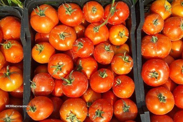 آمادگی برای عرضه مستقیم گوجه فرنگی در میادین میوه و تره بار
