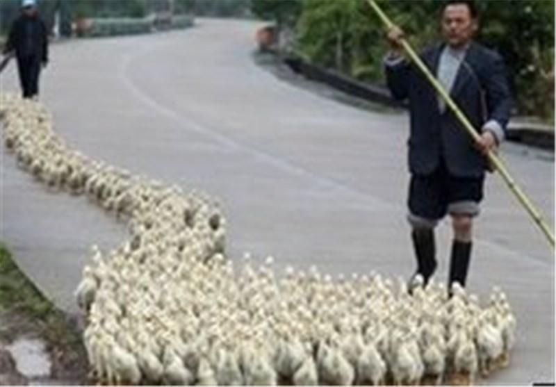 گزارش یک مورد دیگر ابتلا به ویروس جدید آنفولانزای مرغی در شرق چین