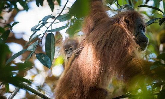 کشف گونه جدید اورانگوتان در اندونزی